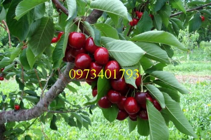 Giống cây Chery Anh Đào3