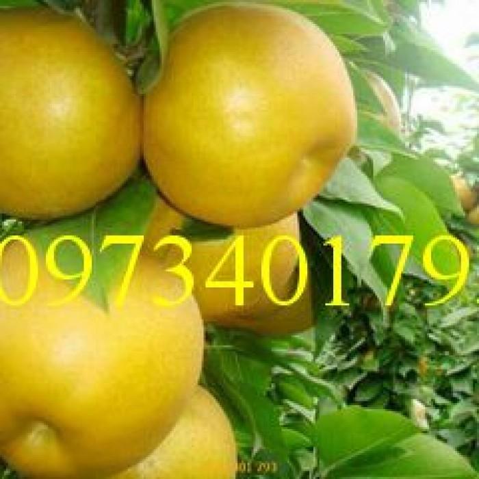 Giống cây  lê vàng nhập khẩu Đài Loan, cây lê vàng, kĩ thuật trồng lê vàng, cây lê, lê vàng1