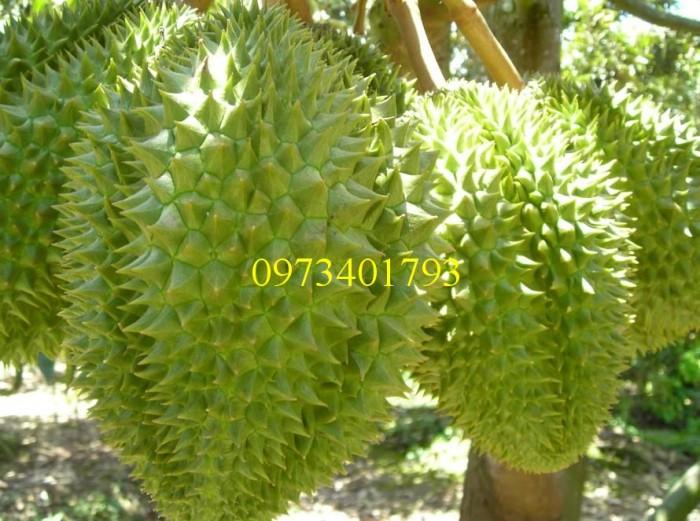 Giống cây Sầu riêng1