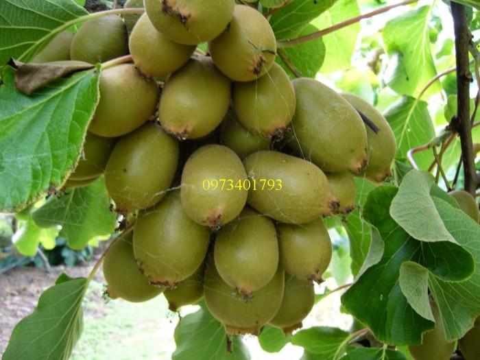 Giống cây kiwi, kiwi,cây kiwi, kĩ thuật trồng kiwi2