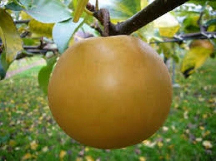 Cây giống lê vàng, lê nâu, lê đen, số lượng lớn, giao cây toàn quốc.1