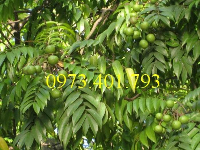 Cây giống sấu hạt, sấu hạt, cây sấu hạt, kĩ thuật trồng cây sấu hạt4