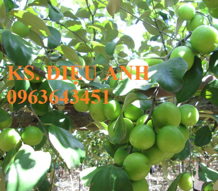 Cây giống táo đại, táo đào vàng, táo Đài Loan, táo Thái Lan, táo T5, táo D28, hỗ trợ kĩ thuật và đầu ra4
