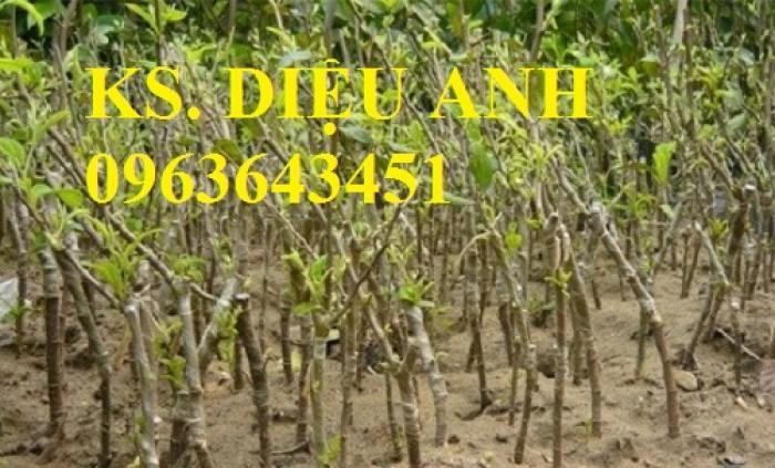 Cây giống táo đại, táo đào vàng, táo Đài Loan, táo Thái Lan, táo T5, táo D28, hỗ trợ kĩ thuật và đầu ra7