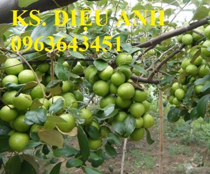 Cây giống táo đại, táo đào vàng, táo Đài Loan, táo Thái Lan, táo T5, táo D28, hỗ trợ kĩ thuật và đầu ra10