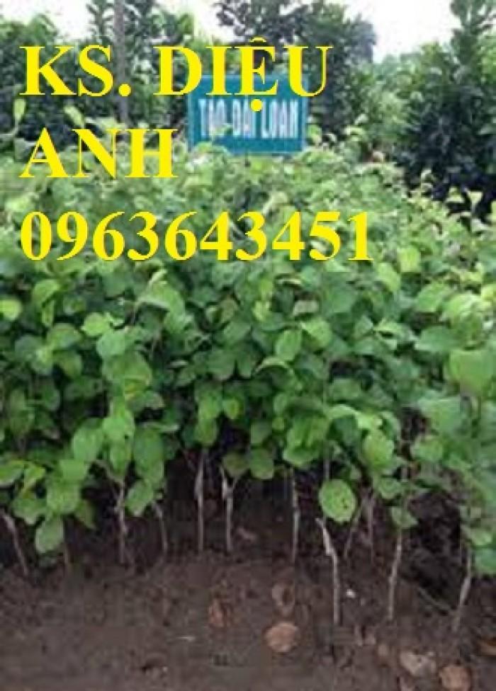 Cây giống táo đại, táo đào vàng, táo Đài Loan, táo Thái Lan, táo T5, táo D28, hỗ trợ kĩ thuật và đầu ra13