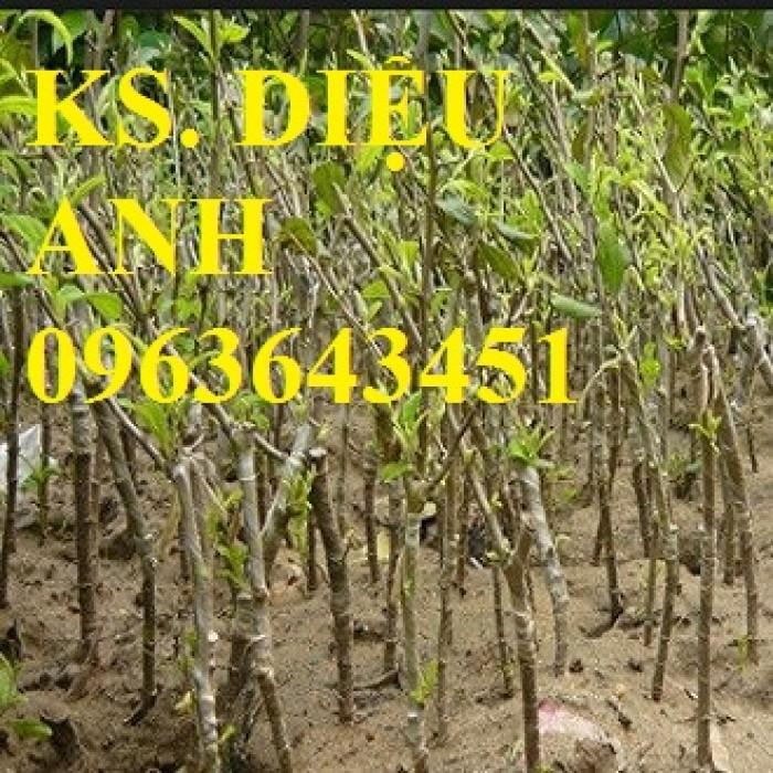 Cây giống táo đại, táo đào vàng, táo Đài Loan, táo Thái Lan, táo T5, táo D28, hỗ trợ kĩ thuật và đầu ra18