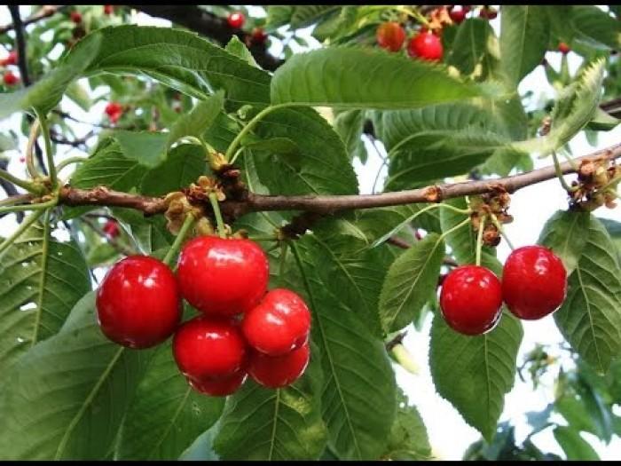 Cây giống cherry brazil, cherry anh đào, số lượng lớn, giao cây toàn quốc.2