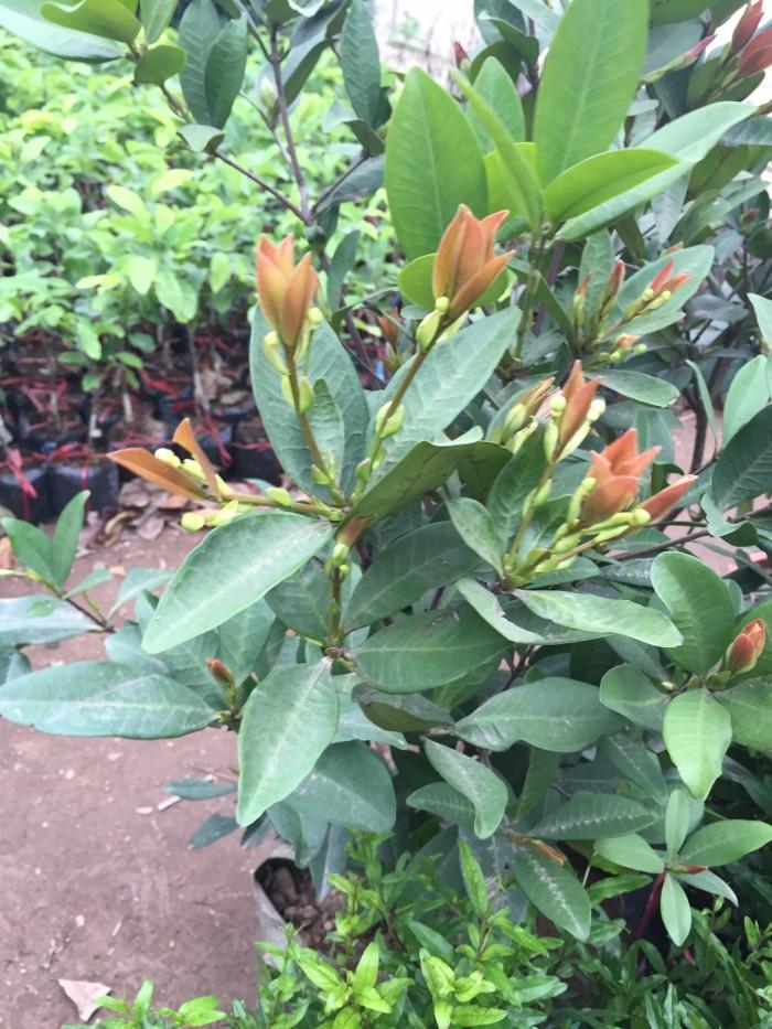 Cây giống cherry brazil, cherry anh đào, số lượng lớn, giao cây toàn quốc.7