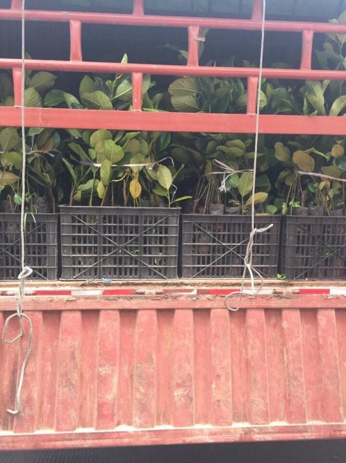 Cung cấp cây giống mít trái dài Đài Loan, số lượng lớn, giao cây toàn quốc.2
