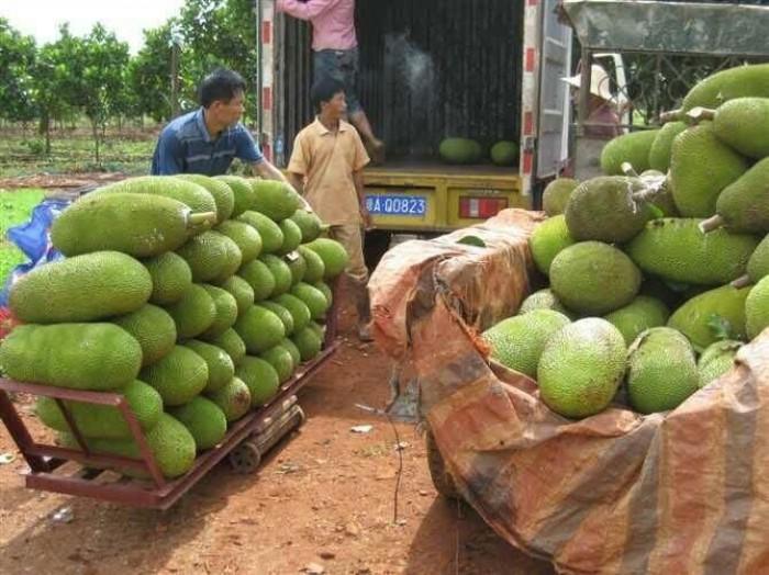 Cung cấp cây giống mít trái dài Đài Loan, số lượng lớn, giao cây toàn quốc.4