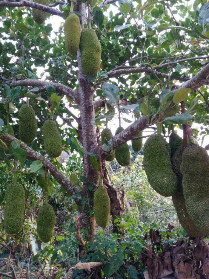 Cung cấp cây giống mít trái dài Đài Loan, số lượng lớn, giao cây toàn quốc.5