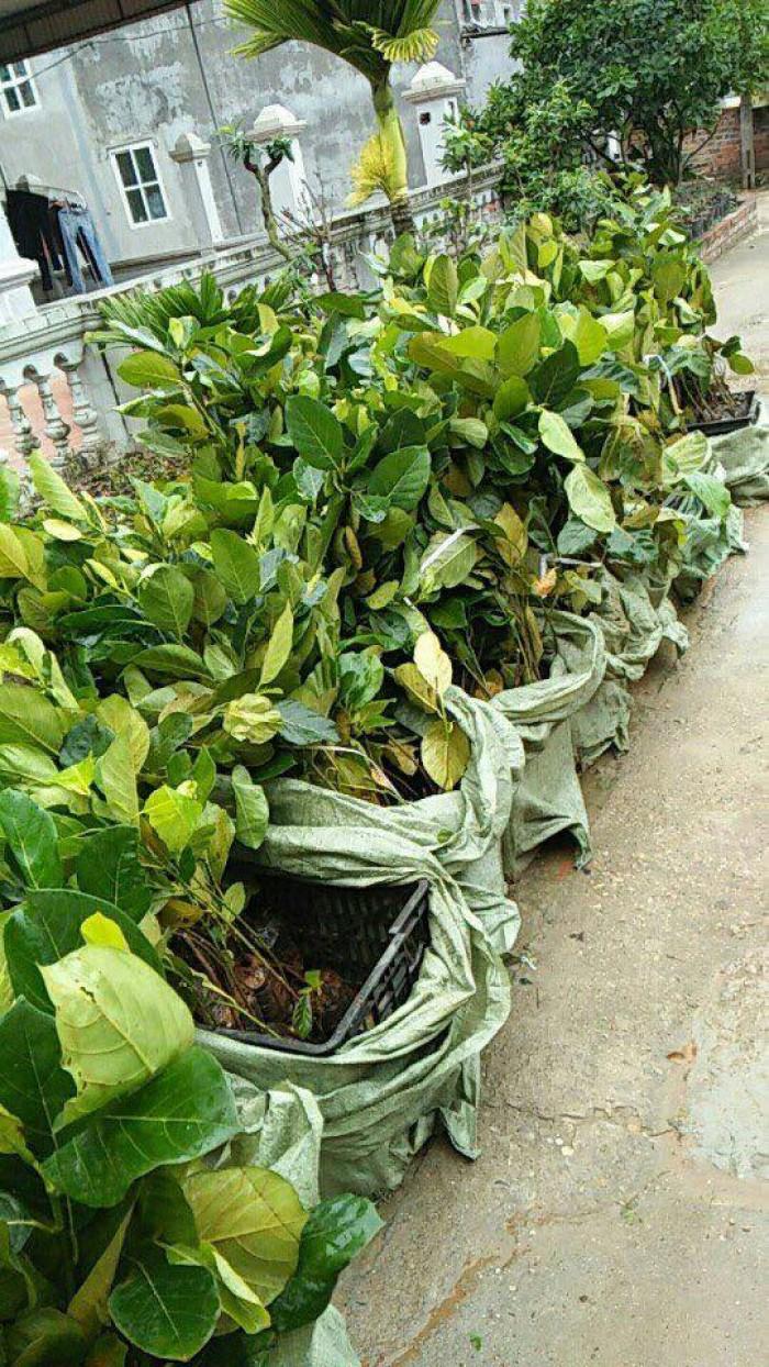 Cung cấp cây giống mít trái dài Đài Loan, số lượng lớn, giao cây toàn quốc.6