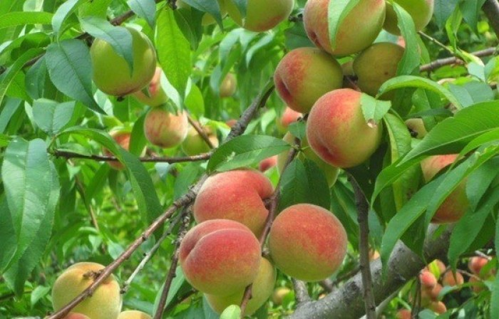 Chuyên cung cấp cây giống đào quả đỏ, đào quả vàng, số lượng lớn, giao cây toàn quốc.1