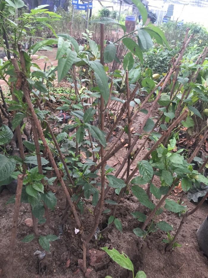 Chuyên cung cấp cây giống đào quả đỏ, đào quả vàng, số lượng lớn, giao cây toàn quốc.4
