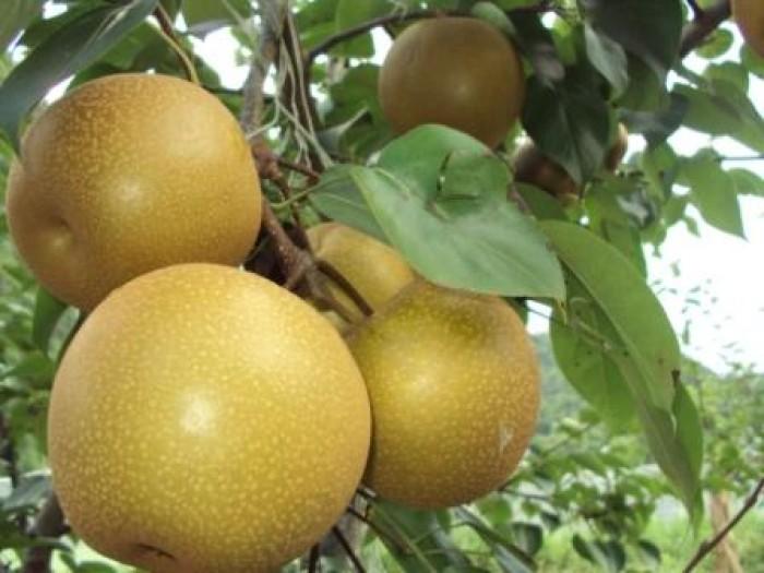 Cây giống lê vàng, lê nâu, số lượng lớn, giao cây toàn quốc.3