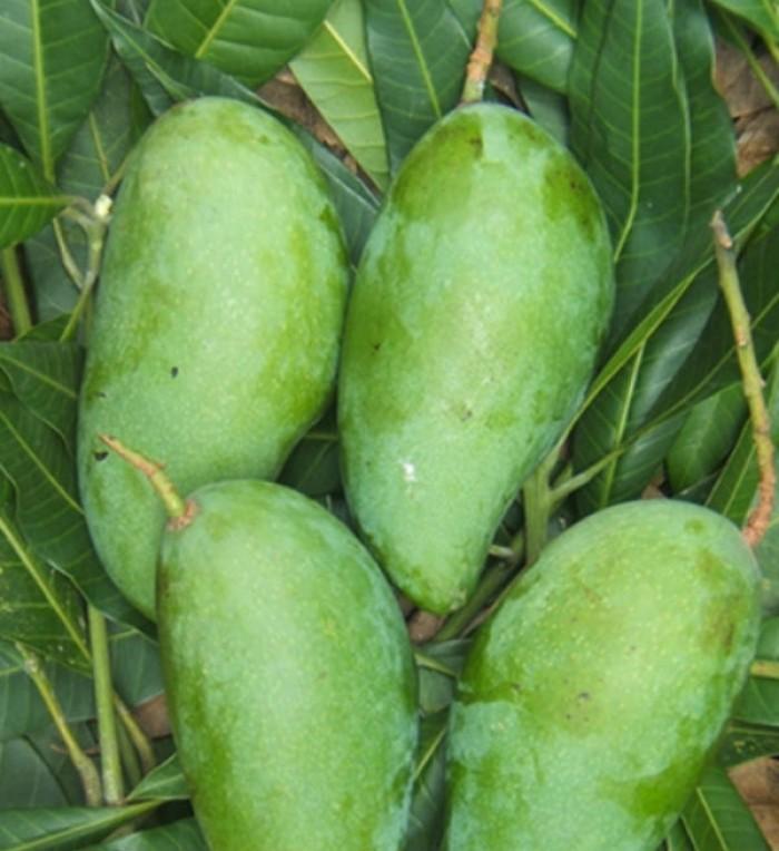 Chuyên cung cấp cây giống xoài Đài Loan, số lượng lớn, giao cây toàn quốc1