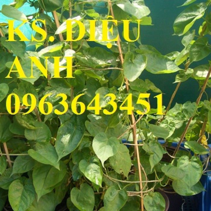 Cây giống thiên lý siêu hoa, mận hậu, mận tam hoa, hạt giống, cây giống măng tây xanh11