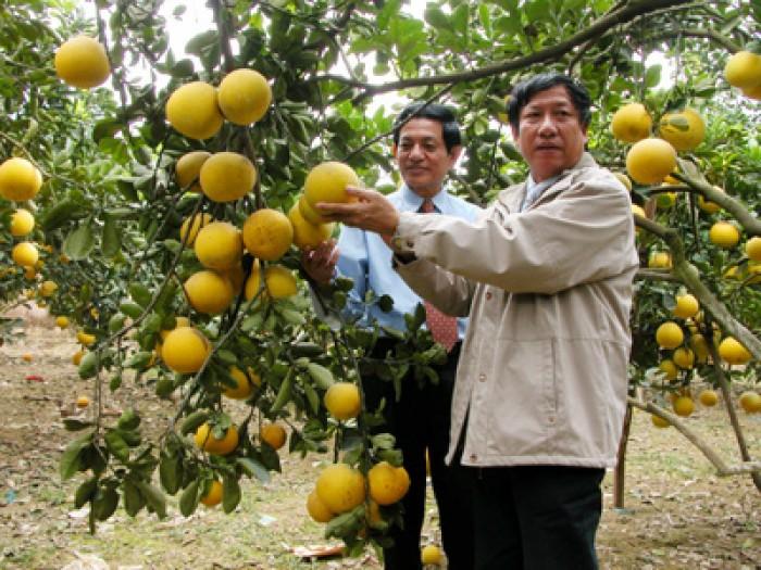 Chuyên cung cấp cây giống bưởi diễn, cam kết chuẩn giống, số lượng lớn.0