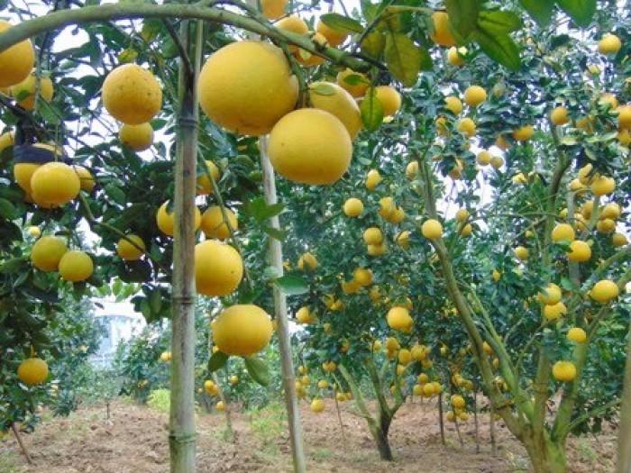 Chuyên cung cấp cây giống bưởi diễn, cam kết chuẩn giống, số lượng lớn.2