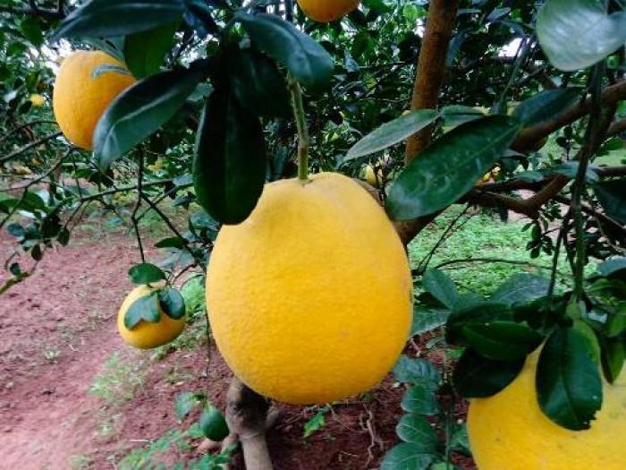 Chuyên cung cấp cây giống bưởi diễn, cam kết chuẩn giống, số lượng lớn.5