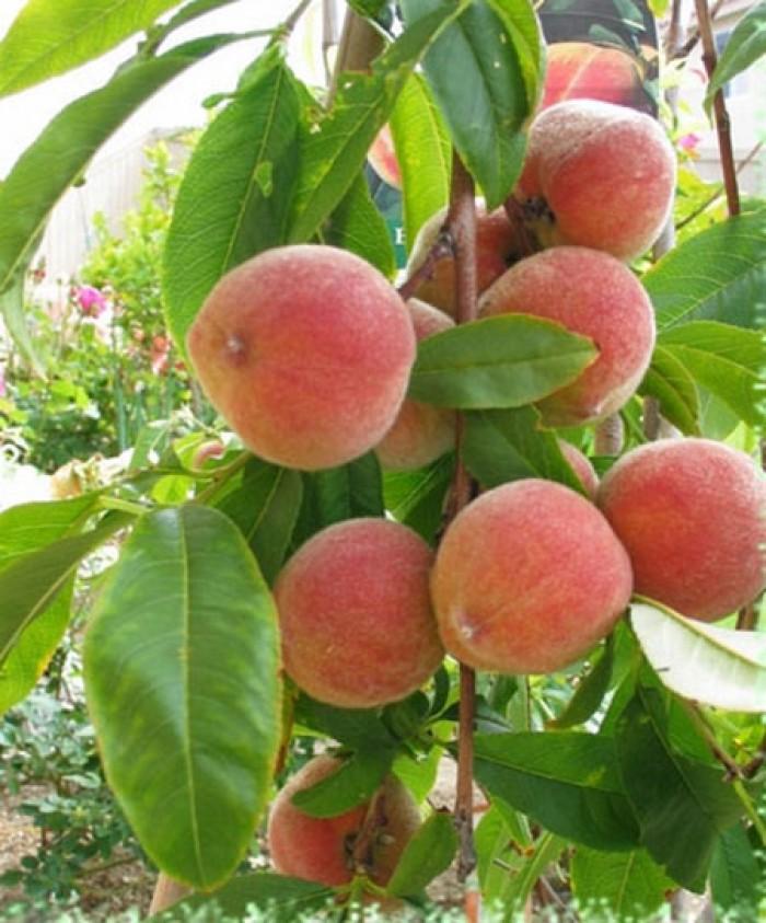 Chuyên cung cấp cây giống đào bát tiên, đào quả đỏ, đào quả vàng, giao cây toàn quốc3