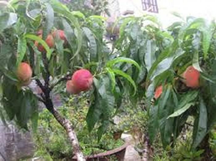 Chuyên cung cấp cây giống đào bát tiên, đào quả đỏ, đào quả vàng, giao cây toàn quốc4