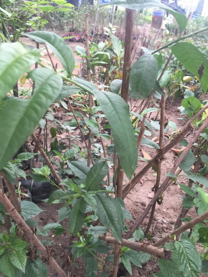 Chuyên cung cấp cây giống đào bát tiên, đào quả đỏ, đào quả vàng, giao cây toàn quốc6