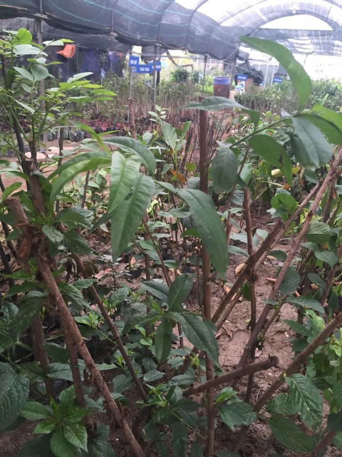 Chuyên cung cấp cây giống đào bát tiên, đào quả đỏ, đào quả vàng, giao cây toàn quốc7