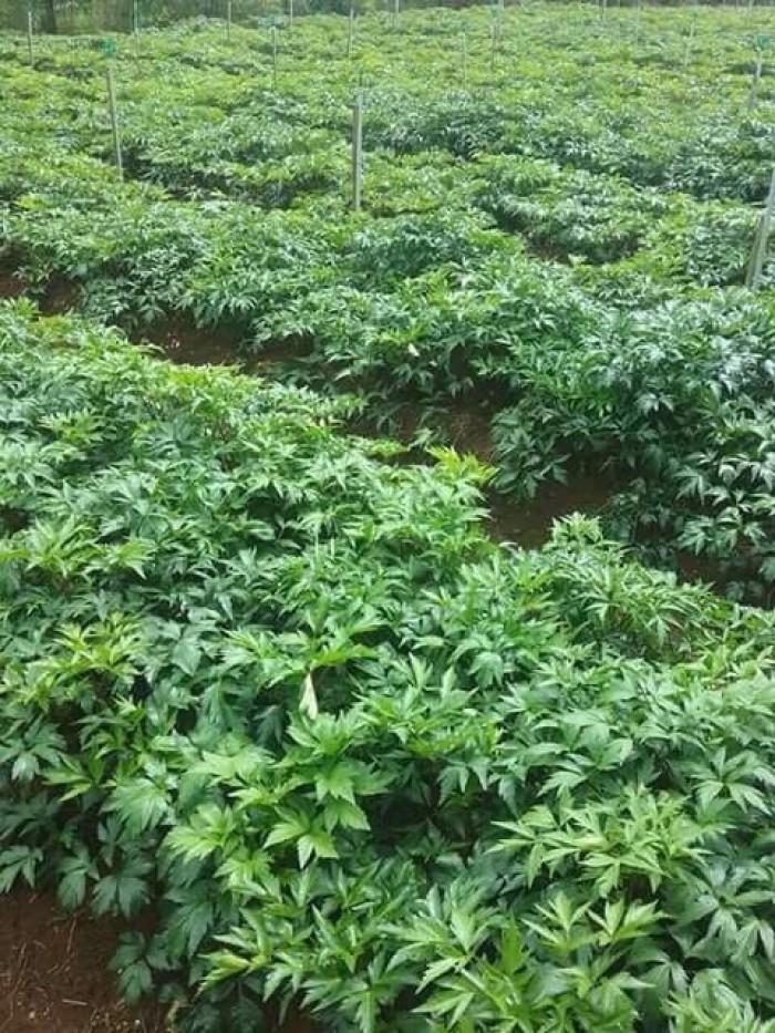Cung cấp cây giống, hạt giống đương quy Nhật Bản, đương quy Trung Quốc6