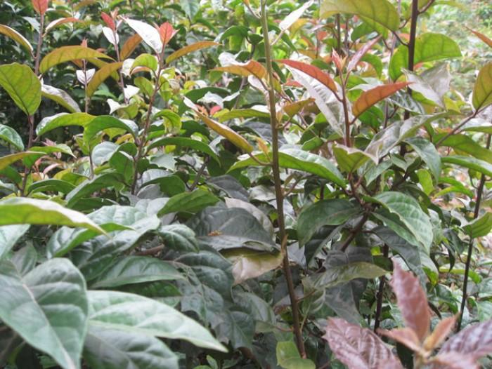 Chuyên cung cấp cây giống xạ đen, số lượng lớn, giao cây toàn quốc.4