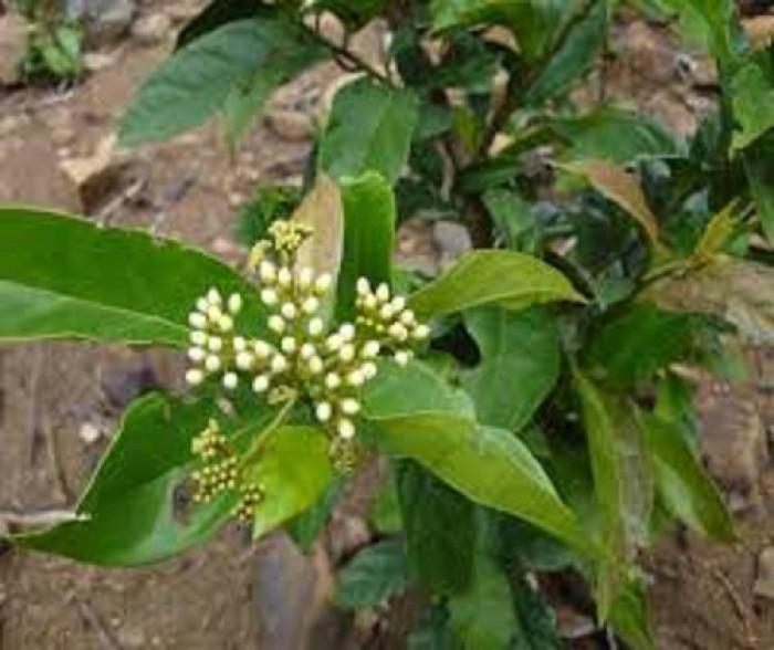 Chuyên cung cấp cây giống xạ đen, số lượng lớn, giao cây toàn quốc.2
