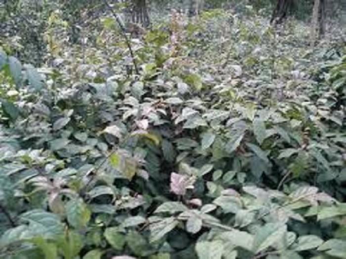 Chuyên cung cấp cây giống xạ đen, số lượng lớn, giao cây toàn quốc.3