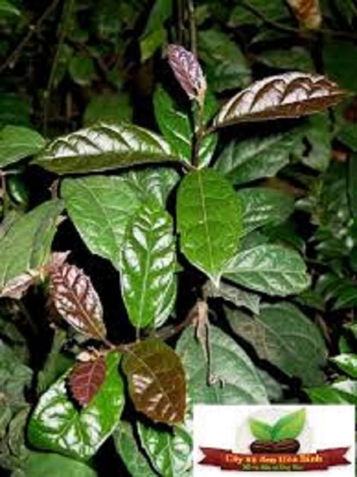 Chuyên cung cấp cây giống xạ đen, số lượng lớn, giao cây toàn quốc.5