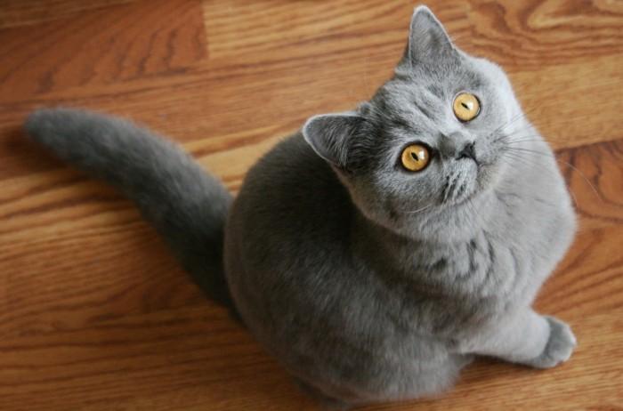 Bán mèo ALN cái thuần chủng0