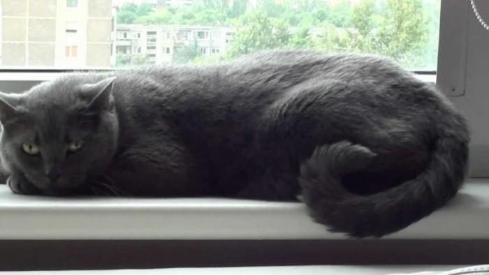 Bán mèo ALN cái thuần chủng1