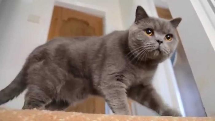 Bán mèo ALN cái thuần chủng2