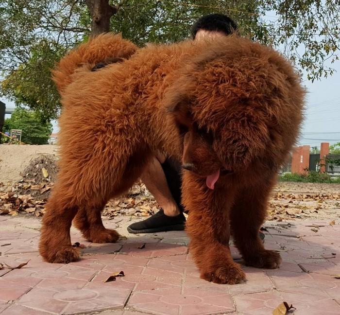 Thần Khuyển Ngao Tây Tạng 4 tháng Tuổi Tuyệt Đẹp2