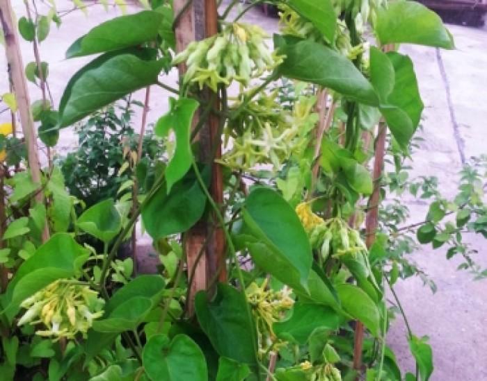 Cây giống hoa thiên lý, số lượng lớn, chuẩn giống, giao cây toàn quốc0