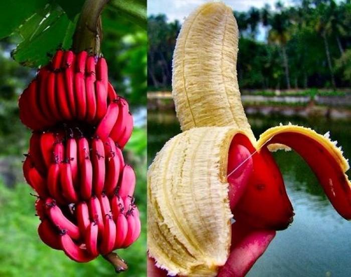 Chuyên cung cấp giống chuối đỏ, chuối Đacca, chuối Úc,số lượng lớn,giao cây toàn quốc.2