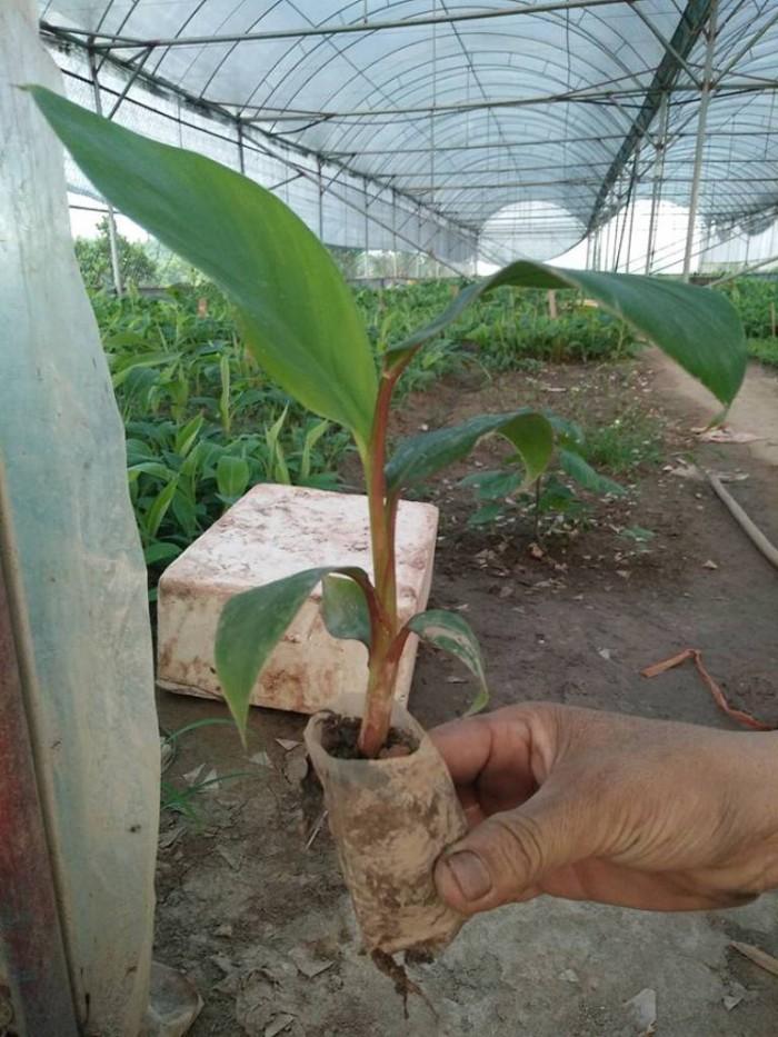 Chuyên cung cấp giống chuối đỏ, chuối Đacca, chuối Úc,số lượng lớn,giao cây toàn quốc.4
