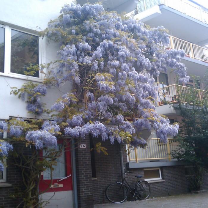 Cây giống hoa tử đằng, hoa tử đằng nhật bản, số lượng lớn, giao cây toàn quốc.5