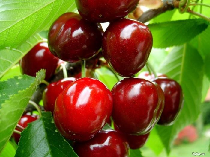 Cây giống cherry brazin, cherry anh đào, số lượng lớn, giao cây toàn quốc.2