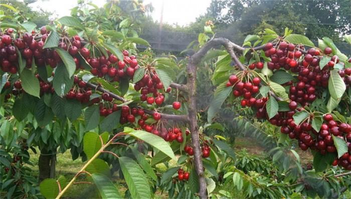 Cây giống cherry brazin, cherry anh đào, số lượng lớn, giao cây toàn quốc.4
