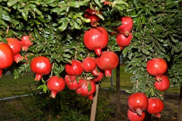 Cây giống lựu, lựu quả đỏ, lựu hoa, số lượng lớn, giao cây toàn quốc.1