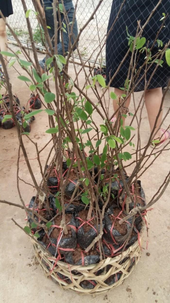 Cây giống na bở Đài Loan, cây na bở, chuẩn giống, số lượng lớn, giao cây toàn quốc5