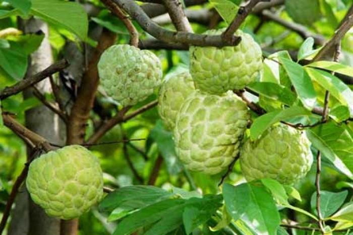 Chuyên cung cấp cây giống na Thái Lan, cam kết chất lượng, giao cây toàn quốc.2