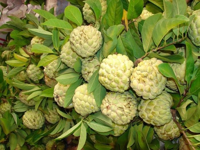 Chuyên cung cấp cây giống na Thái Lan, cam kết chất lượng, giao cây toàn quốc.3