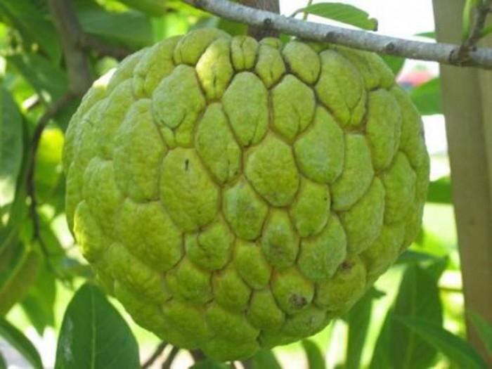 Chuyên cung cấp cây giống na Thái Lan, cam kết chất lượng, giao cây toàn quốc.4
