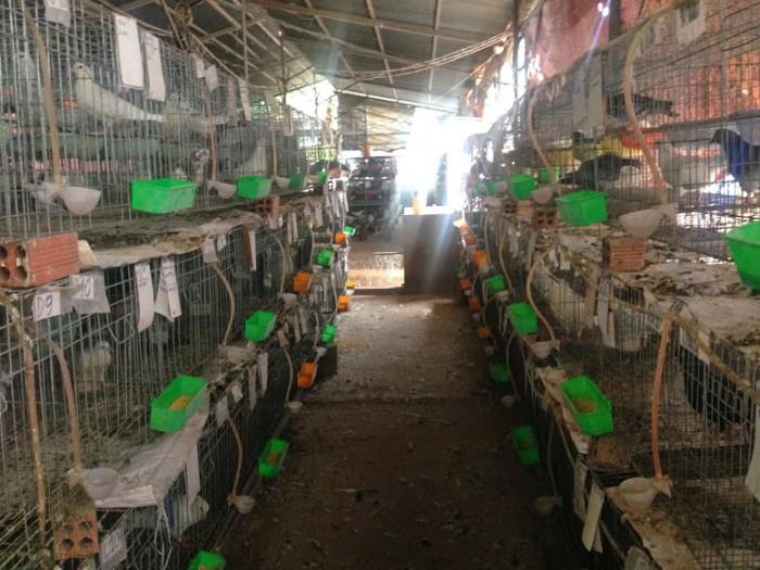 Cần thanh lý gấp 80 cặp bồ câu giống pháp2